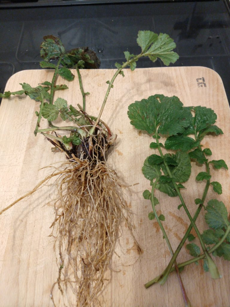 Wood Avens roots and leaves on chopping board