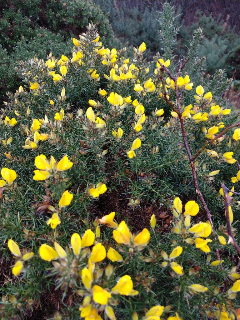 gorse flowers on bush
