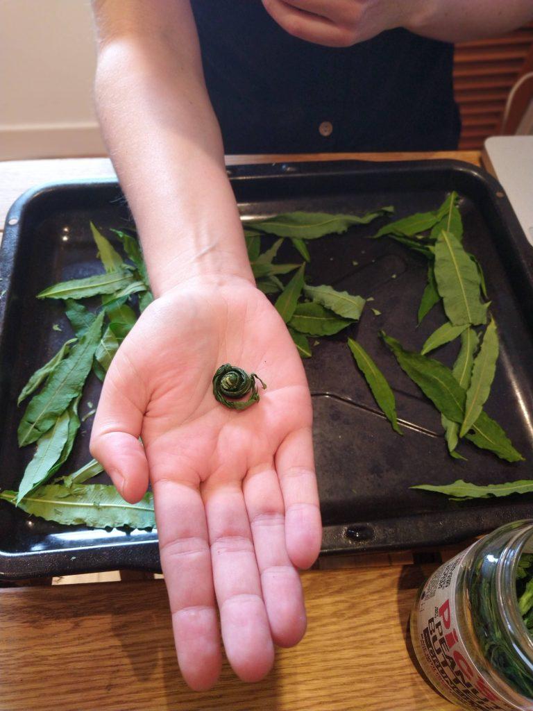 rolled up rosebay willowherb leaves